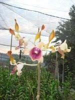 Sien Orchid